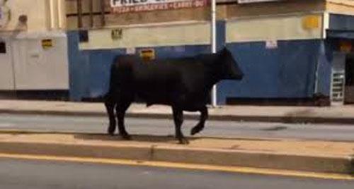 bull-baltimore1