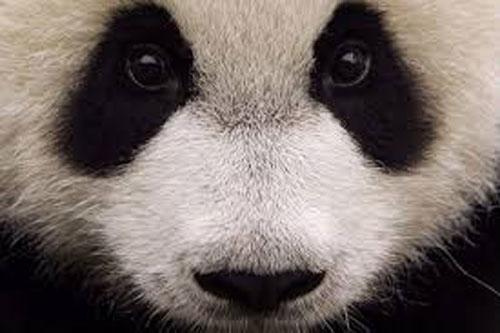 Giant-Panda1